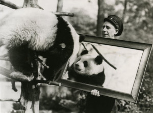 Pandora and keeper at the Bronx Zoo, circa 1938-1941. Modern reproduction, from 1987 Giant Panda Exhibit press kit. Wildlife Conservation Society Publications and Printed Ephemera collection. Collection 2016.
