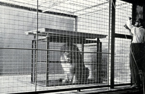 Shift cage in the Artists' Studio, photographed by E. R. Sanborn. Image published in Zoological Society Bulletin, July 1903.