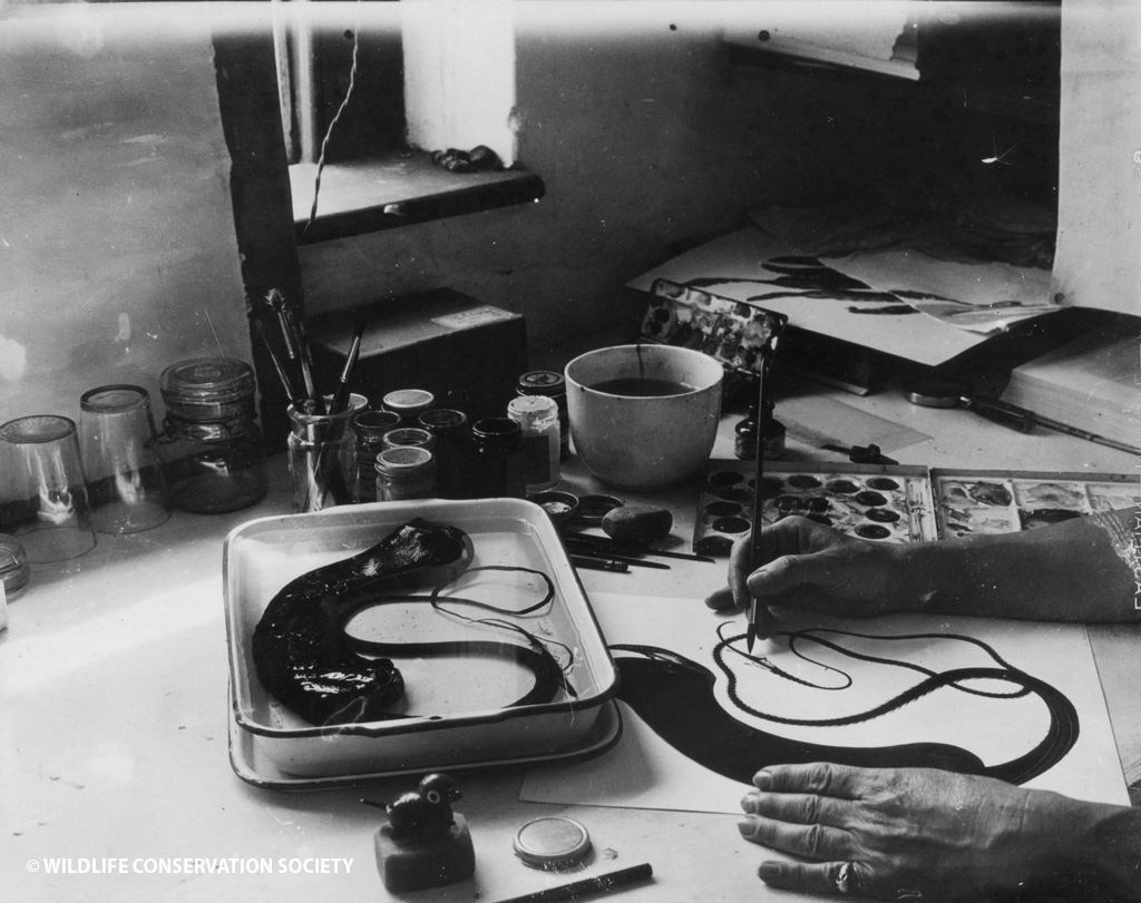 Else Bostelmann paints deep sea gulper eel from specimen, Nonsuch Island, Bermuda, 1930s.