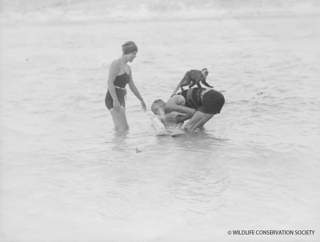 William Beebe and Jocelyn Crane play with Chiriqui in water, Bermuda, 1930s