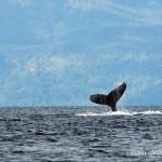 Julie Larsen Maher_0542_Humpback whale in Antongil Bay_MDG_07 15 04
