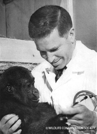 Gandal performing a checkup on a baby gorilla, circa 1966. Animal Kingdom vol. LXIX (4), August 1966.