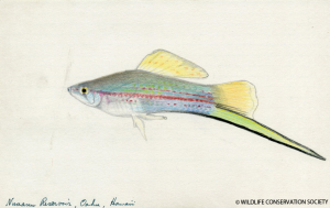 Myron Gordon illustration of a Hawaiian fish, circa 1950s. Myron Gordon records, 1900-1978 (bulk 1940-1978). Collection 3021. Wildlife Conservation Society Archives, New York.