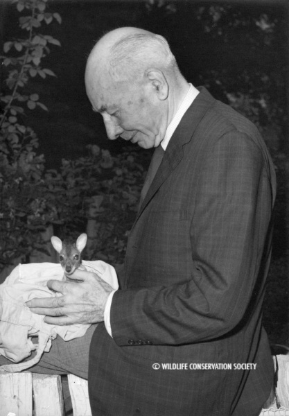 Lee S. Crandall with baby wallaby at the Bronx Zoo, June 1964. WCS Photo