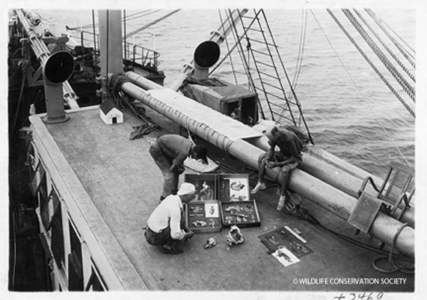 William Beebe (right) and crew members compare illustrations and specimens on board Arcturus, 1925. WCS Photo Collection.