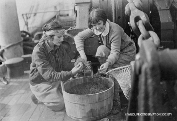 Isabel Cooper and Marie Fish sort through sargassum weed, 1925. WCS Photo Collection.