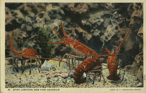 """Like the crab and the lobster, the Aquarium cannot grow without shedding its old shell.""  Postcard scanned from WCS Archives Collection 2016."