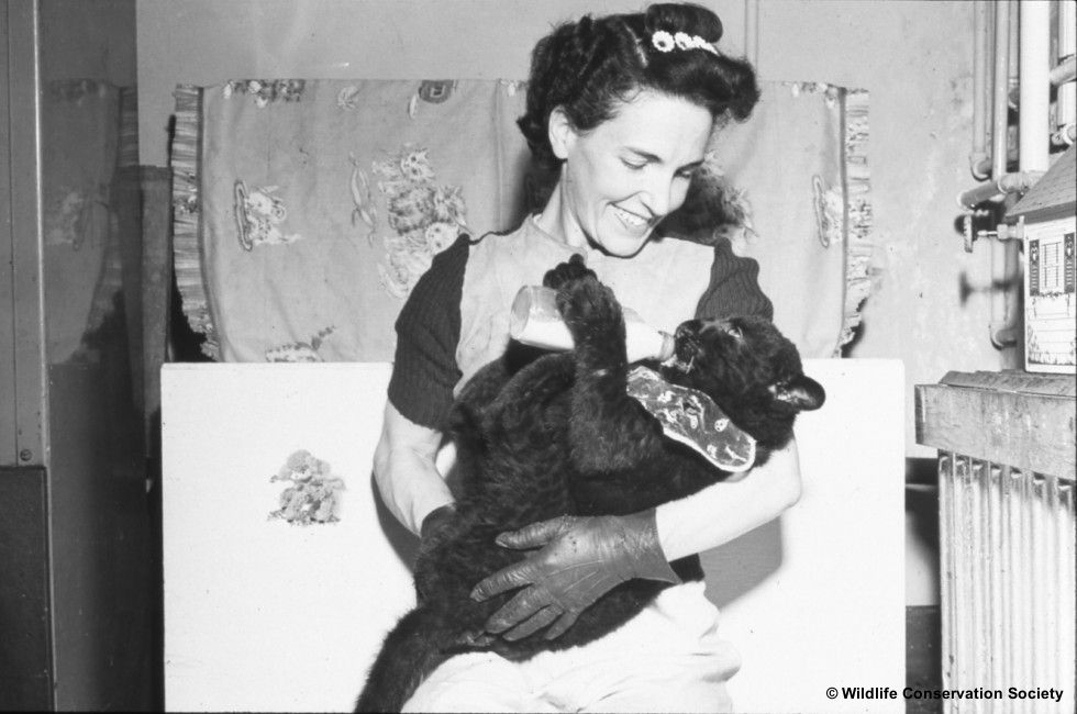 Image of Helen Martini with baby panther in her Bronx apartment, circa 1940s. Scanned from WCS Photo Collection