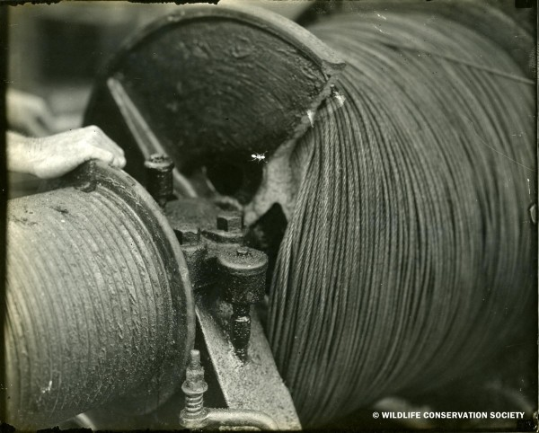 Break in cable drum (with ant on print), Bermuda, July 17, 1929. WCS Photo Collection