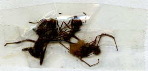 Close-up of ants taped to Belize Zooletter page