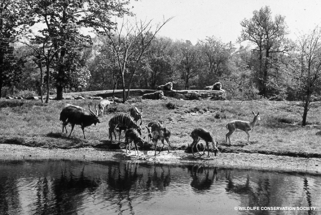 Predators and prey are separated by discrete moats in the African Plains exhibit, 1941. WCS Photo Collection