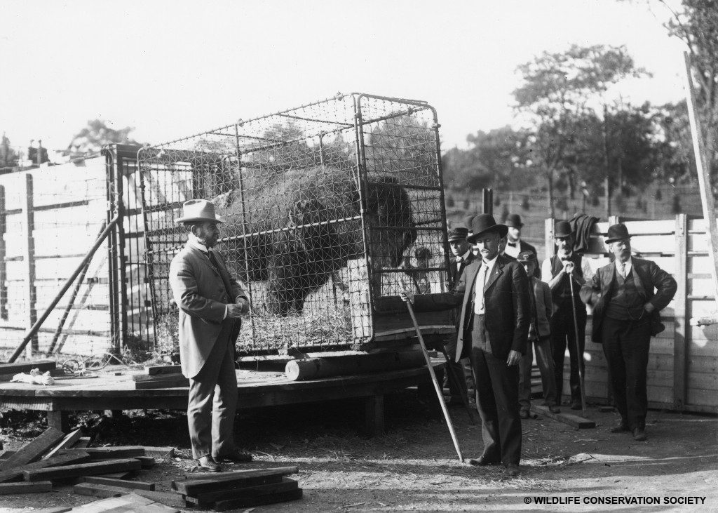 Bison at the Bronx Zoo being crated for transport to the Wichita Forest  and Game Preserve (now known as the Wichita Mountains Wildlife  Reserve), October 1907. William Hornaday appears on the left.  WCS Photo Collection