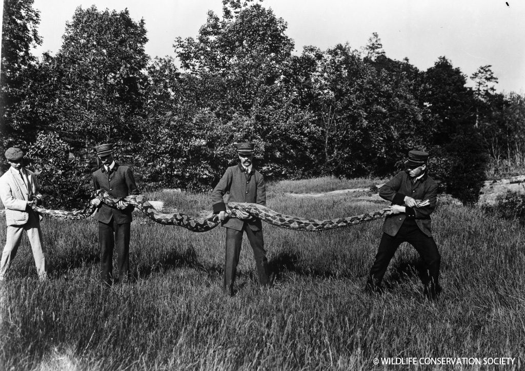 Keepers showing length of reticulated python (then known as a regal python) at the Bronx Zoo, June 1904. WCS Photo Collection