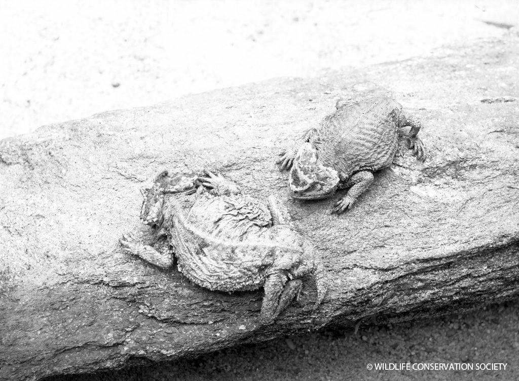 Ditmars horned lizard (Phrynosoma ditmarsi), March 1932.