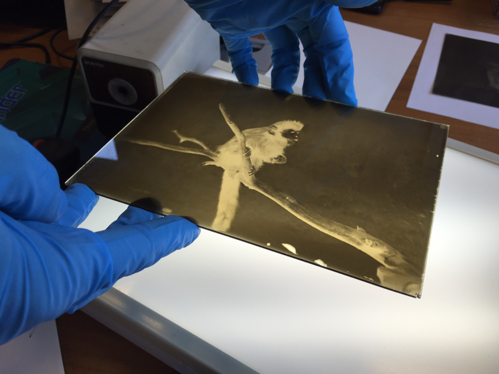 A project intern places a glass negative on the light box for examination.