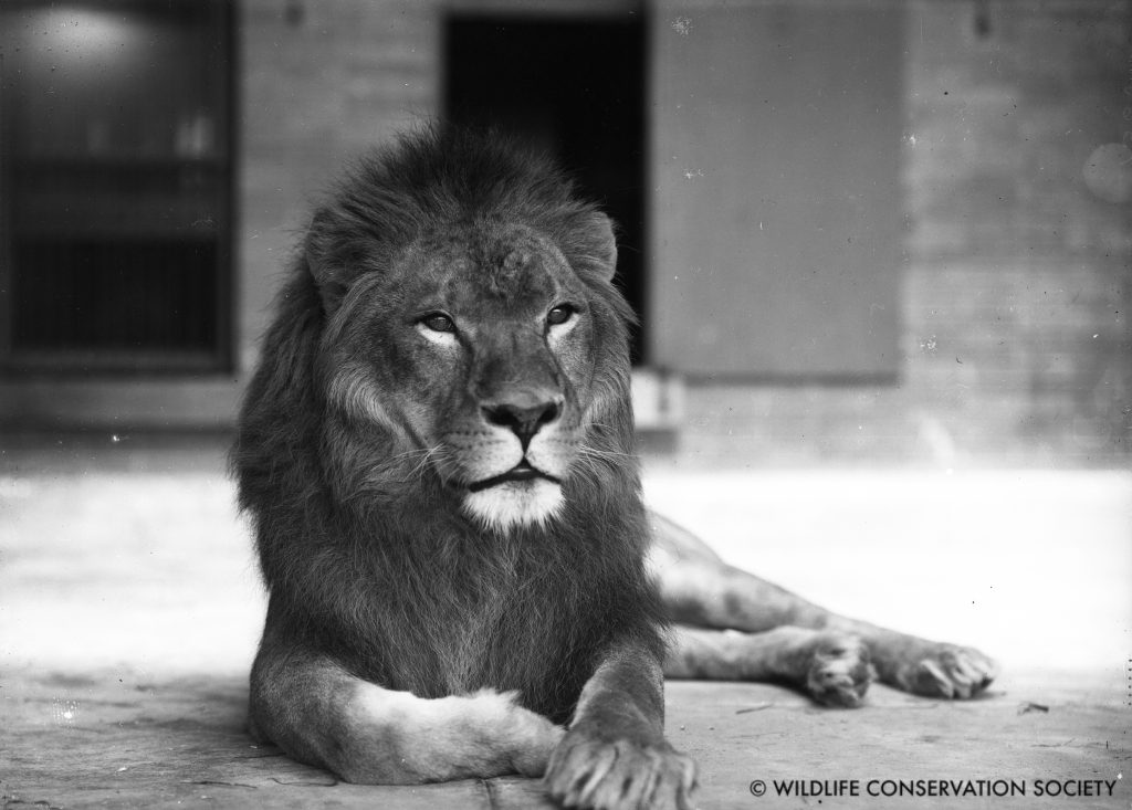 Nubian, or Barbary, lion in the Bronx Zoo Lion House, May 1904. WCS Photo Collection