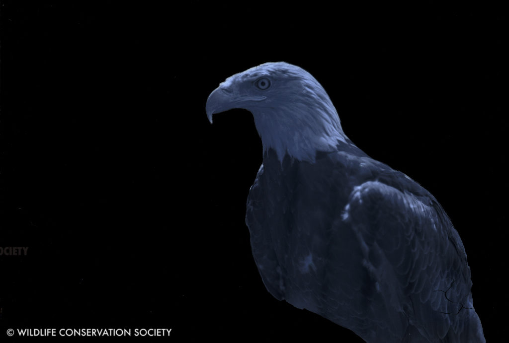 Image of Southern bald eagle at the Bronx Zoo, June 1929, on black background, created by stripping emulsion layer around the eagle. WCS Photo Collection