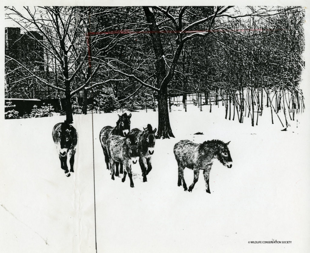 "A reproduction of a photograph taken by NYZS photographer William Meng (1969 – 1996) that accompanies the press release for the ""Chinese New Year of the Horse."" Crop marks in red and black appear on the picture plane on the left and top edge of the image featuring NYZS's Mongolian wild horses. These edits highlight elements of concern from Society staff, namely the context of the zoo's urban environment, when creating an image representative of the Zoo's facilities and animal collections intended for public consumption. Photograph by Bill Meng, circa February 1978. Scanned from WCS Archives Collection 2032."