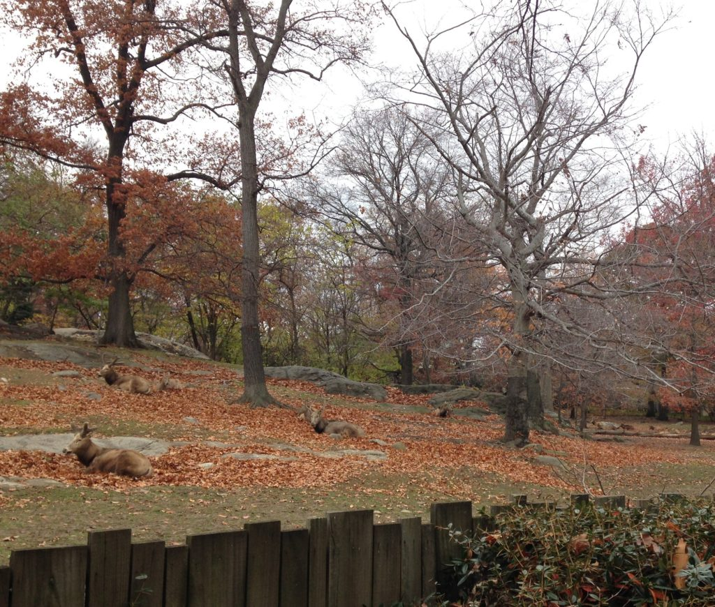 "A typical opportune sighting presently available to park visitors at the Zoo. A pasture dotted with a group of Père David deer amongst the surrounding fall foliage of the season. The Rare Animals Range, a former exhibit which opened in 1973, featured this Asian deer species as well as Mongolian wild horses (Przewalski's horses) and European Bison (wisent). The press release produced for the exhibit opening stated, ""all three species are extinct in nature and exist today only in zoos and preserves."" Photograph by Emma Curtis."